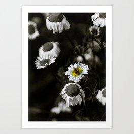 Michaelmas Daisies Art Print