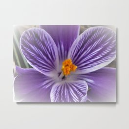 Center of Purple Crocus Flower Metal Print