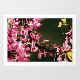 Cercis canadensis 'Forest Pansy' Art Print