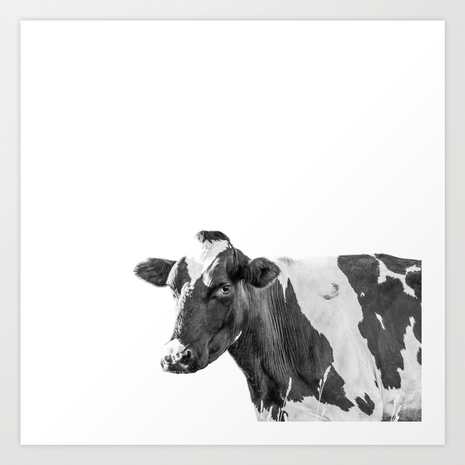 Cow photography animal art minimalism black and white black and white peek a boo art print