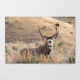 Mule Deer #01 Canvas Print