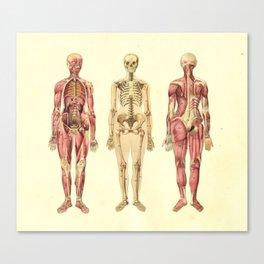 Human Female Anatomy Print Canvas Print