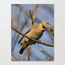 Waxwing on the look out Canvas Print
