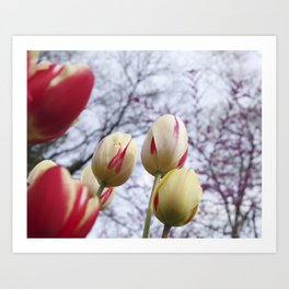 Tulips Ready For Lift Off Art Print