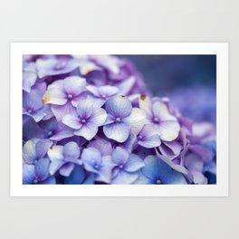 Hydrangea Floral Art Art Print