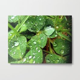 Clovers and Dew Metal Print