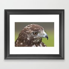 Red-tailed Hawk Portrait Framed Art Print