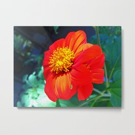 Tithonia Mexican Sunflower Metal Print