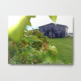 Wild Rose Bush and the Old Barn Metal Print