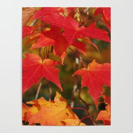 Fiery Autumn Maple Leaves 4966 Poster