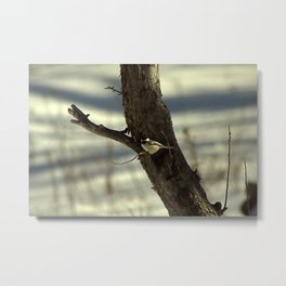 Black-Capped Chickadee in Apple Tree Metal Print