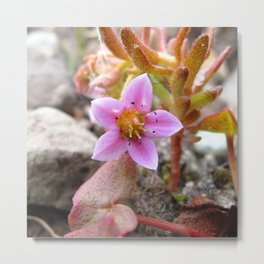 Watercolor Flower, Hairy Stonecrop 01, Northern Iceland Metal Print
