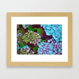 Hydrangea Pink and Blue Framed Art Print