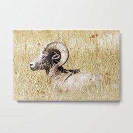 Rocky Mountain Bighorn Metal Print