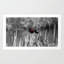 Red winged blackbird Art Print