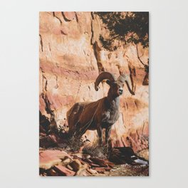 Zion Bighorn Sheep Canvas Print