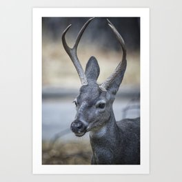 Buck with Two Pronged Antlers Art Print