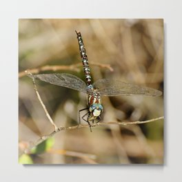 Blue-Eyed Dragonfly Metal Print