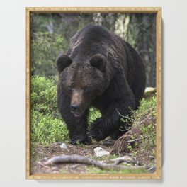 King of forest, male brown bear approaching Serving Tray