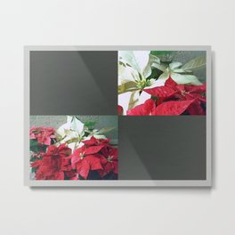 Mixed color Poinsettias 3 Blank Q6F0 Metal Print