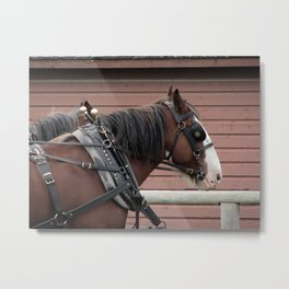 Bay Clydesdale Draft Horse Team - Brad and Andy Metal Print