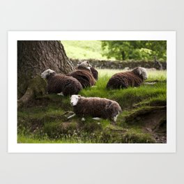 Herdwick sheep resting in the shade of a tree. Buttermere, Lake District, UK Art Print