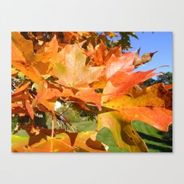 Maple in Sunlight Canvas Print