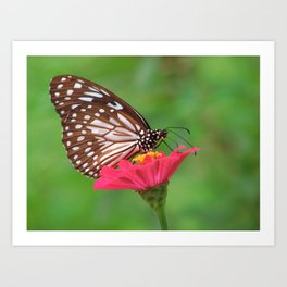 Butterfly Drinking Nectar Art Print