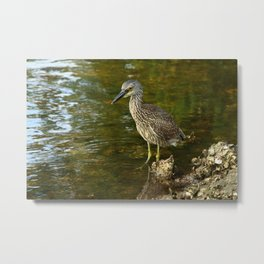 Juvenile Yellow Crowned Night Heron Metal Print