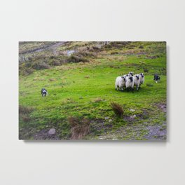 The Sheep Dogs Metal Print