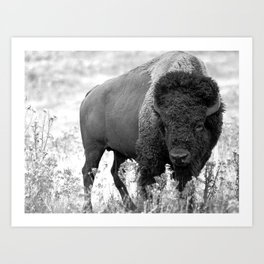 Bison Yellowstone National Park Art Print