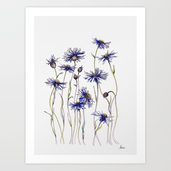 Blue Cornflowers, Illustration Kunstdrucke
