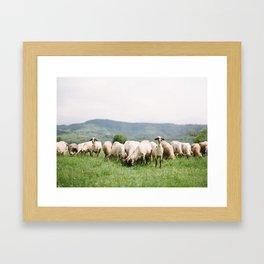 Bulgarian Sheep Framed Art Print