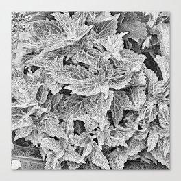 coleus black and white Canvas Print