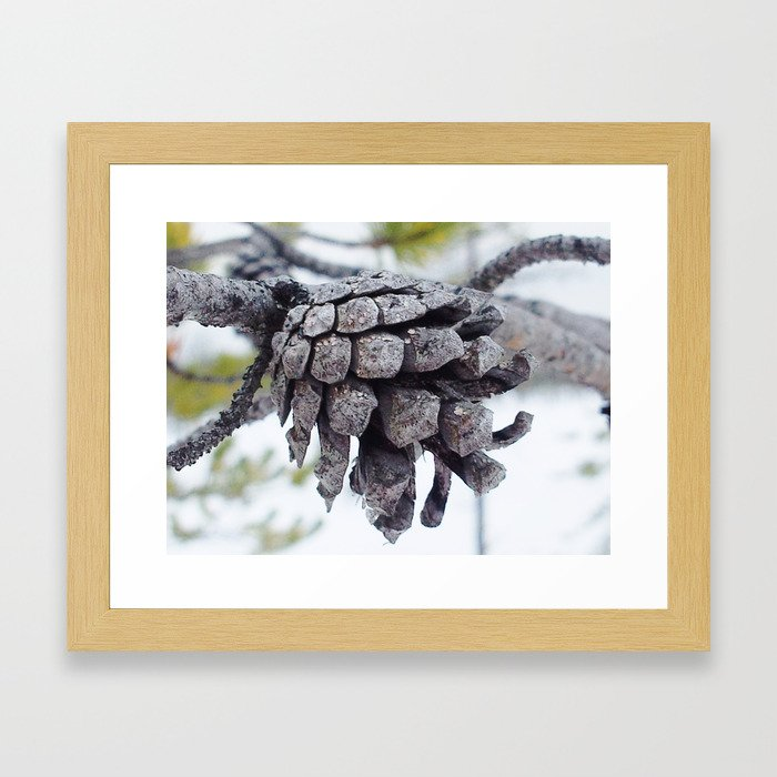 Pine cone in Lapland 2 Framed Art Print