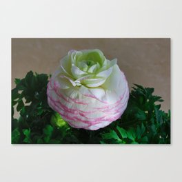 White and Pink Ranunculus Canvas Print