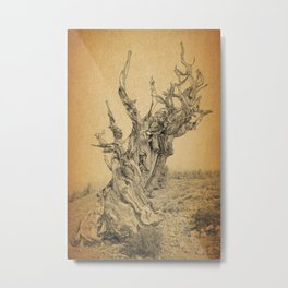 Bristlecone Pine Tree Ancient Tree in the World Metal Print