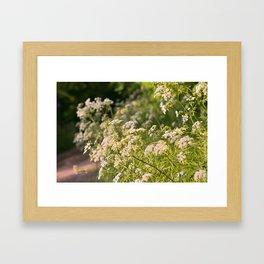 Flowering cow parsley (Anthriscus sylvestris) Framed Art Print