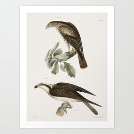 17 The Red-tailed Buzzard (Buteo borealis) 18 The Fish Hawk (Pandion carolinensis)  from Zoology of Art Print