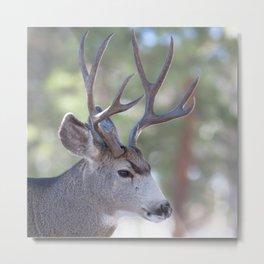 Watercolor Deer, Mule 04, RMNP, Concerning Thoughts Metal Print