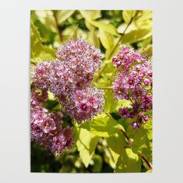 Lilac flowers Poster