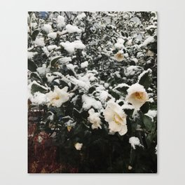 Richmond / Snow on Camellia Canvas Print