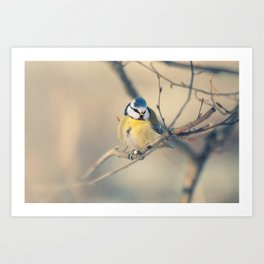 Blue and yellow tit Art Print