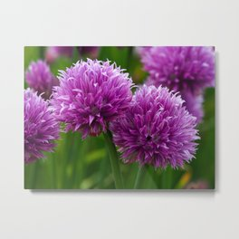 Chive Flowers Metal Print
