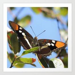 California Sister Butterfly on Oak Leaves Art Print