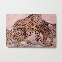 Cheetah Brothers of the Kalahari Metal Print