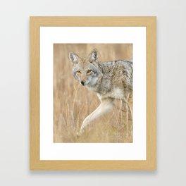 Mountain Coyote Framed Art Print