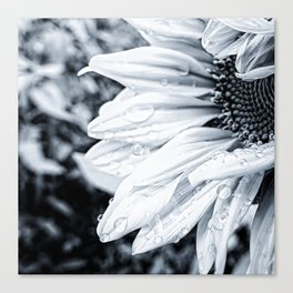 Close-up of black and white sunflower Canvas Print