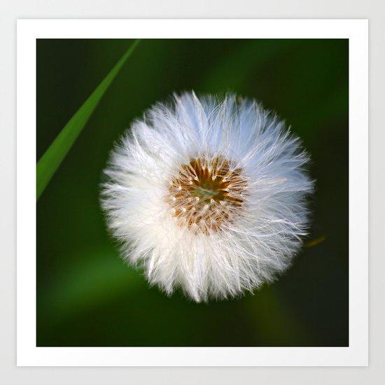Softness Dandelion  Art Print