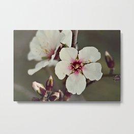 Almond Blossoms on a Budding Branch Metal Print